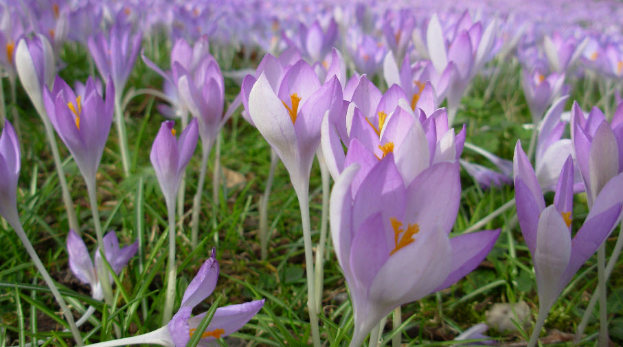 Crocus voorjaarskriebels ✓ van valderen exclusieve tuinmeubelen